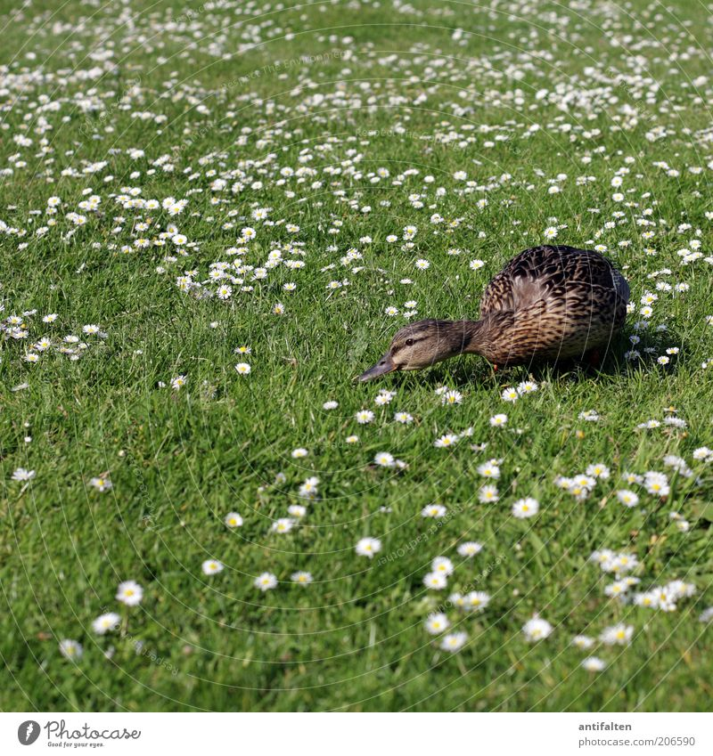 Nature White Green Plant Summer Animal Meadow Grass Garden Brown Bird Feather Lawn Wing Daisy To feed