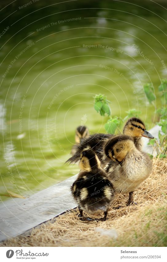 Nature Water Summer Animal Environment Spring Small Baby animal Group of animals Cute Cleaning Pelt River bank Duck Cuddly Offspring