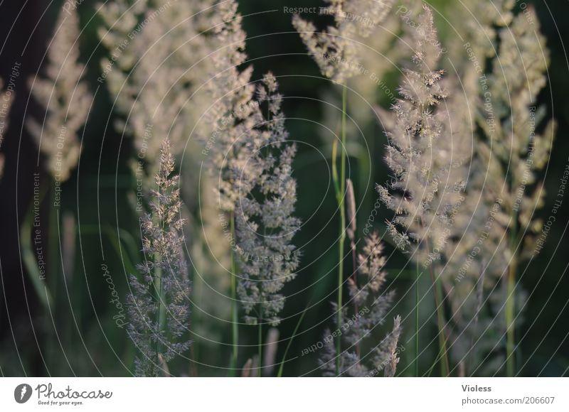 Nature Plant Summer Grass Seed Pollen Grass blossom