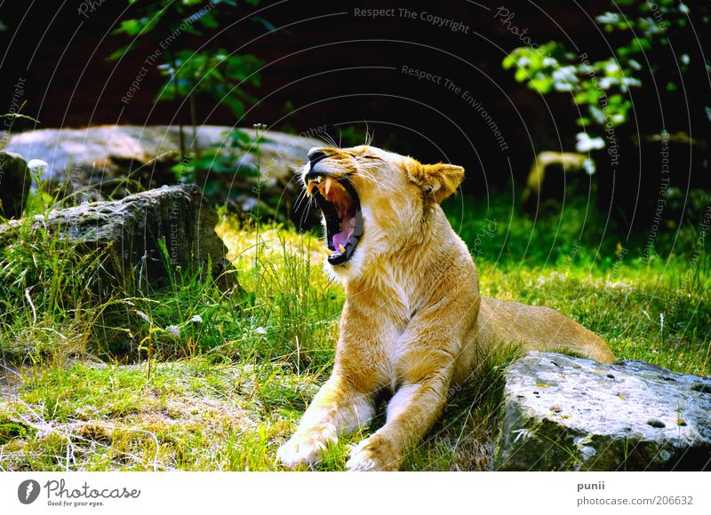 Nature Green Animal Black Yellow Power Gold Wild animal Exceptional Lie Natural Large Esthetic Threat Symbols and metaphors