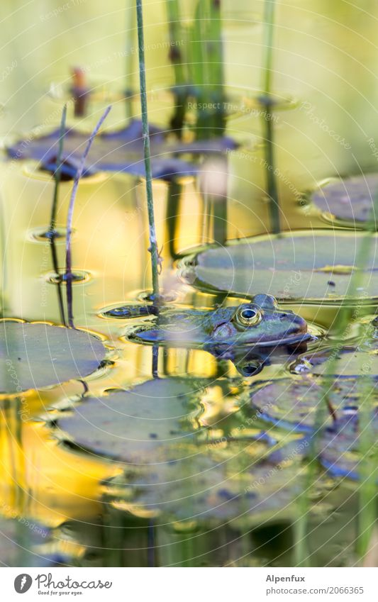 frog Environment Nature Landscape Plant Water lily Water lily pond Water lily leaf Bog Marsh Pond Wild animal Frog 1 Animal Swimming & Bathing Relaxation Dive