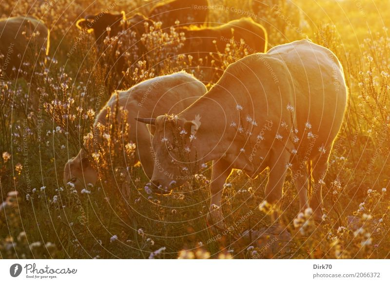 Family photo Livestock breeding Cattle Pasture Cattle farming Sunrise Sunset Sunlight Beautiful weather Warmth Flower Grass Meadow Flower meadow Syracuse Sicily