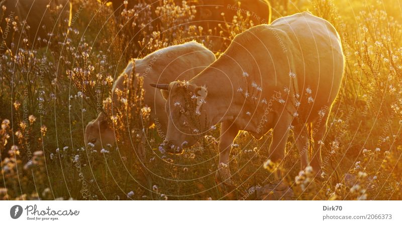 Sicilian cows in the evening light Agriculture Forestry Cattle breeding Cattle Pasture Livestock breeding Nature Sunrise Sunset Sunlight Spring