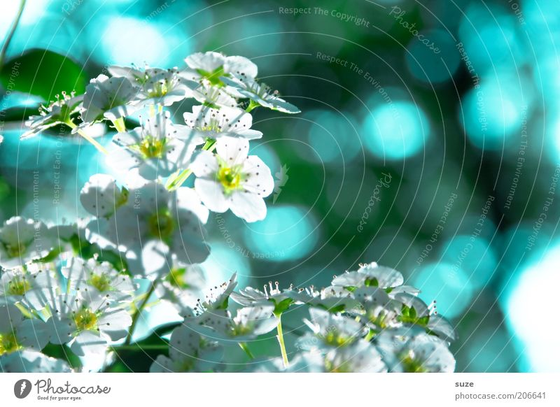 Nature White Blue Plant Blossom Spring Bright Moody Environment Fresh Growth Natural Blossoming Fragrance Blossom leave Point of light