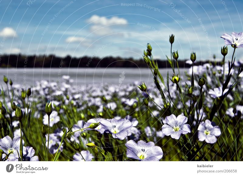 Sea of flowers II Summer Environment Nature Landscape Plant Sky Clouds Beautiful weather Flower Blossom Blue Green Violet Meadow Flower meadow Colour photo
