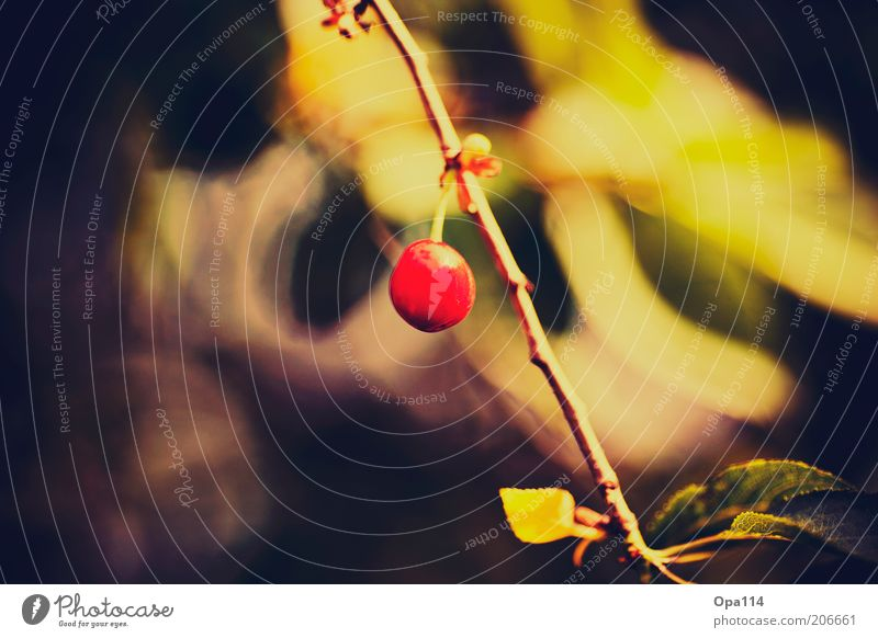 Nature Plant Red Summer Yellow Fresh Round Hang Twig Cherry Individual Agricultural crop