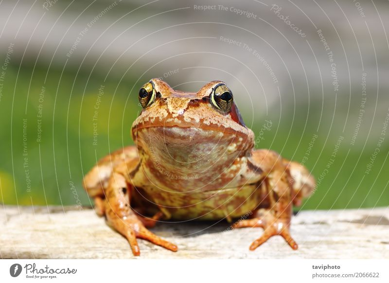 close up of european common frog Garden Environment Nature Animal Forest Pond Observe Stand Small Funny Wet Natural Slimy Wild Brown Green Colour Rana
