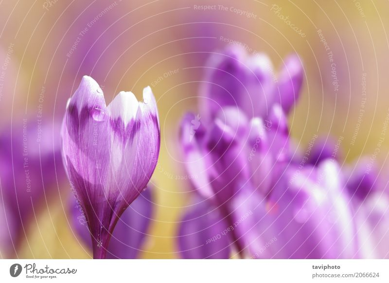 close up of pink spring crocus Happy Beautiful Mountain Garden Easter Group Nature Plant Spring Flower Grass Blossom Park Meadow Growth Fresh Small Natural Wild