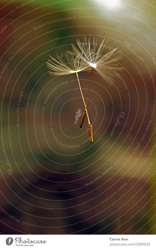 dandelion seeds flying together Nature Plant Air Flower Blossom Dandelion Flying Colour photo Exterior shot Macro (Extreme close-up) Morning Seed White Close-up