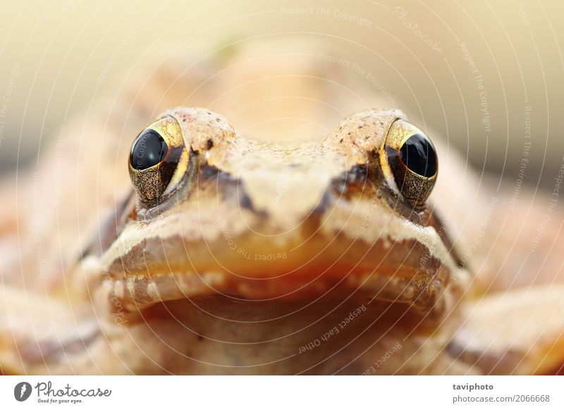 Rana dalmatina portrait Face Nature Animal Small Natural Cute Wild Brown Colour agile frog image Shot head eyes Interesting European Photography amphibian