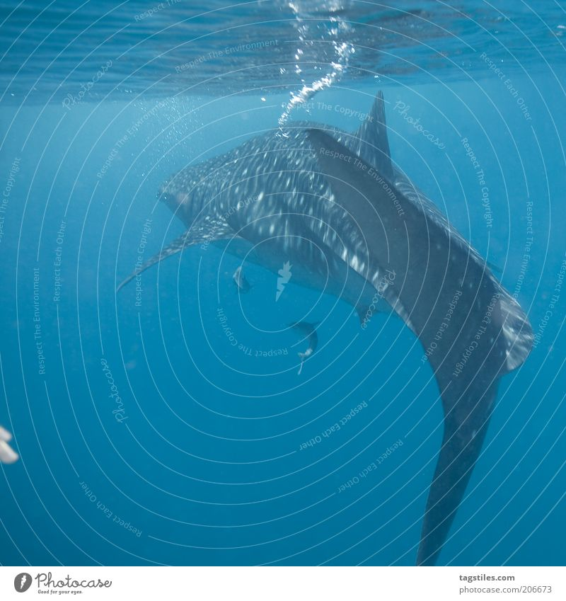 2 FINGERS vs. BUBBLE MASHINE Whale shark Shark Fish Large Bubble Dive Ocean Free Wilderness Freedom Water Surface of water Maldives Colour photo
