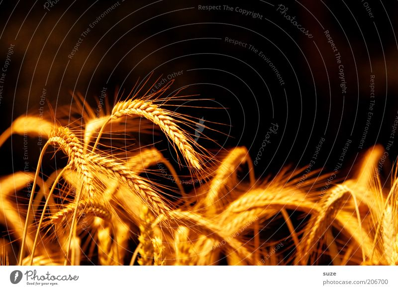 spike title Food Grain Organic produce Summer Environment Nature Landscape Plant Agricultural crop Illuminate Growth Natural Yellow Gold Ear of corn Awn Harvest