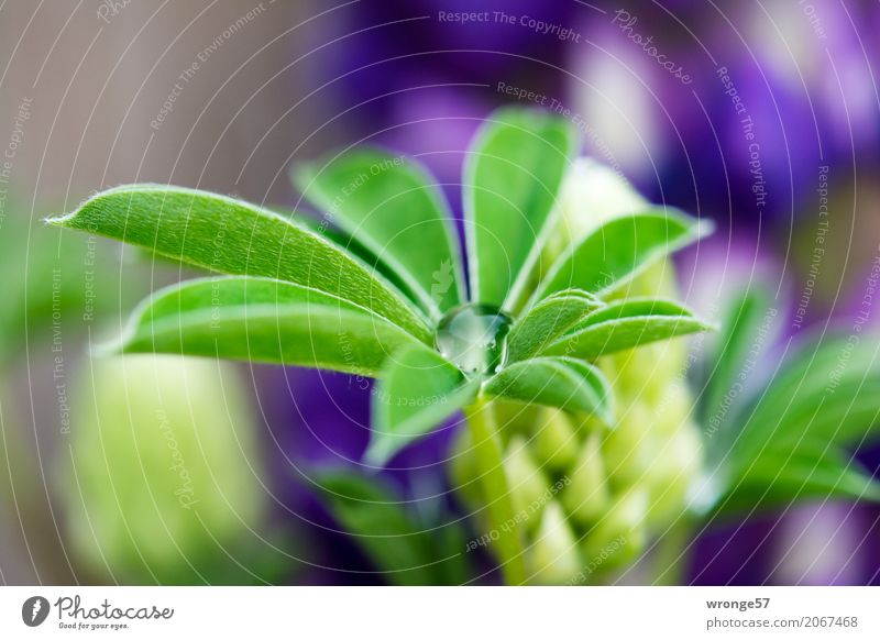 drip catcher Plant Summer Flower Leaf Lupin Lupin leaf Esthetic Natural Blue Brown Multicoloured Green Violet Drops of water Close-up Blossom Lupin blossom