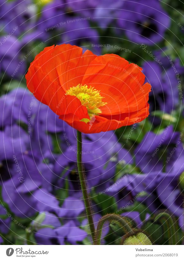 ornamental poppy Garden Nature Plant Spring Summer Flower Blossom Park Blue Multicoloured Green Orange Red Poppy Corn poppy garden flower Colour photo