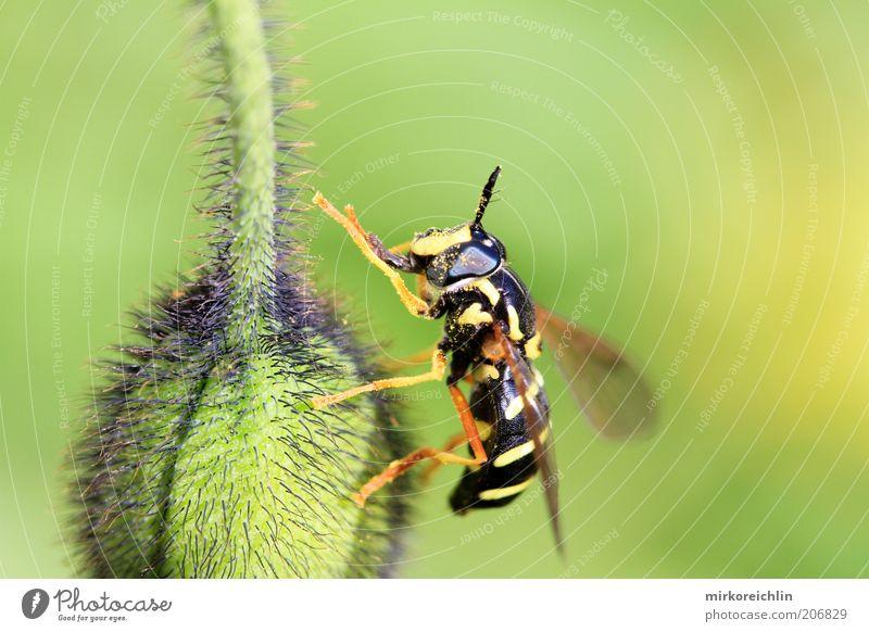 Green Plant Calm Black Animal Yellow Legs Wing Stripe Poppy Bud Wasps Macro (Extreme close-up)