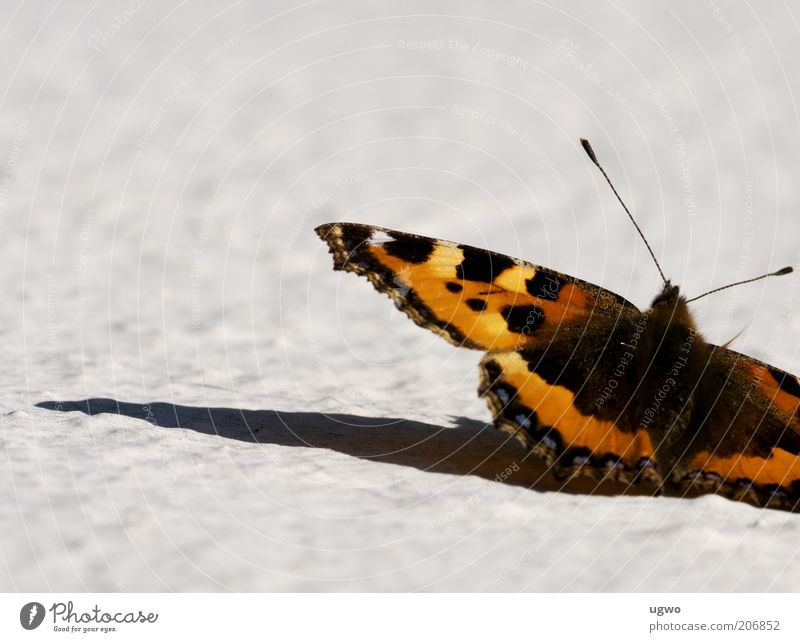 Beautiful Animal Near Authentic Butterfly Feeler