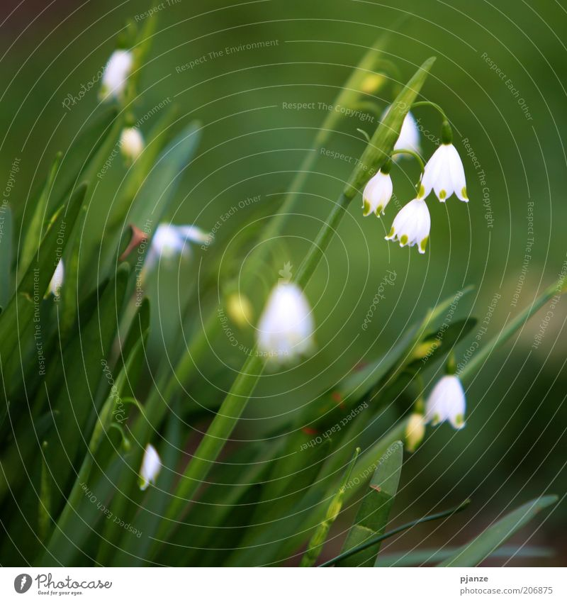 Nature White Green Plant Blossom Spring Environment Fresh Flower Symbols and metaphors Beautiful weather Foliage plant Snowdrop Spring fever Macro (Extreme close-up) Wild plant