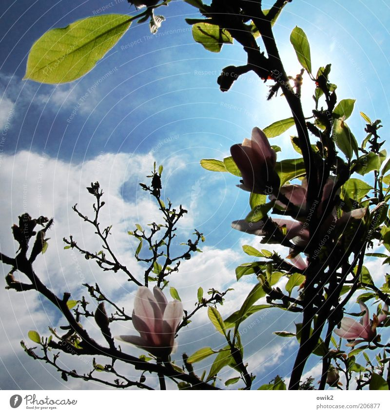 magnoilae Environment Nature Plant Sky Clouds Sun Sunlight Spring Climate Weather Beautiful weather Tree Leaf Blossom Foliage plant Wild plant Magnolia tree