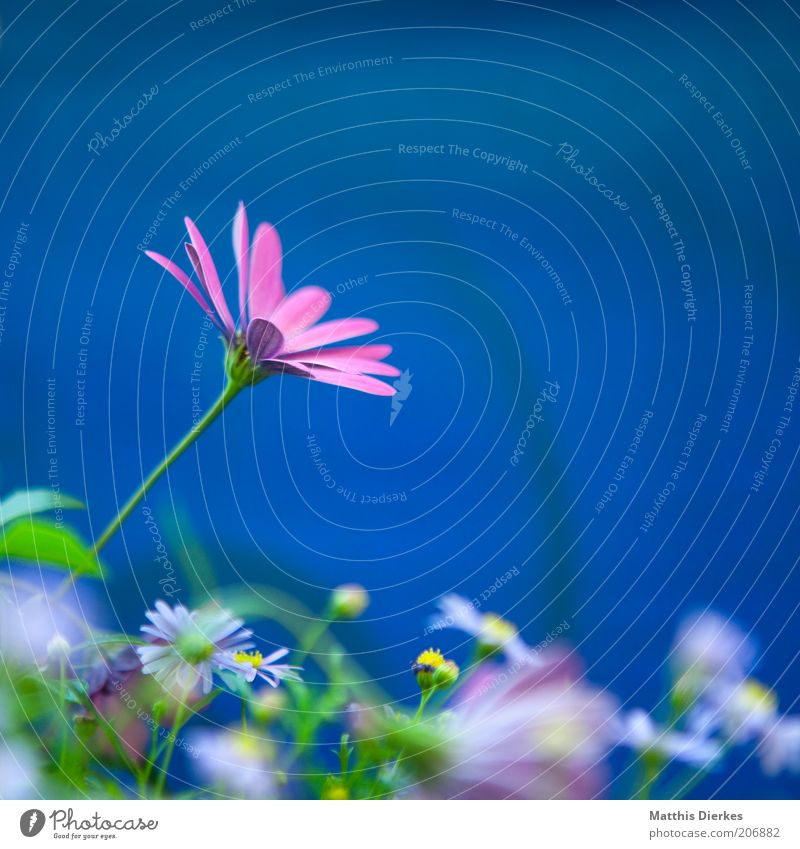 Nature Beautiful Blue Plant Summer Pink Environment Violet Decoration Fragrance Daisy Orchid Marguerite Blossom leave Flower Meadow flower