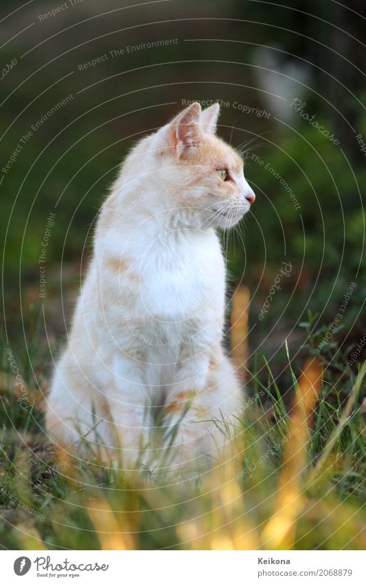 White peach coloured cat in grass. Nature Landscape Sunrise Sunset Sunlight Summer Beautiful weather Warmth Grass Meadow Field Animal Pet Cat Animal face Pelt
