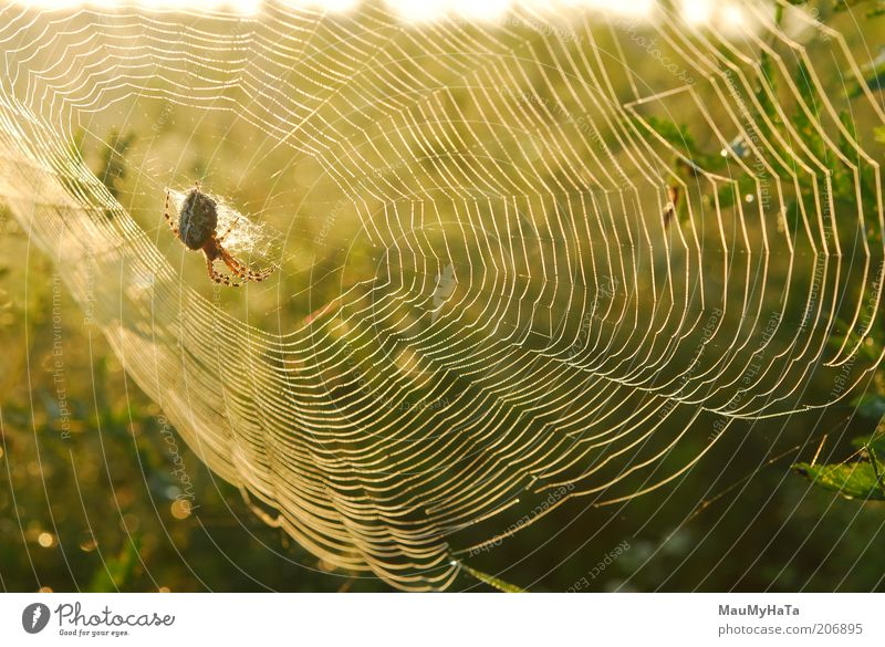 Spiderweb Nature Water Beautiful Green Animal Yellow Far-off places Dream Small Gold Design Gold Free Network Cool (slang) Might
