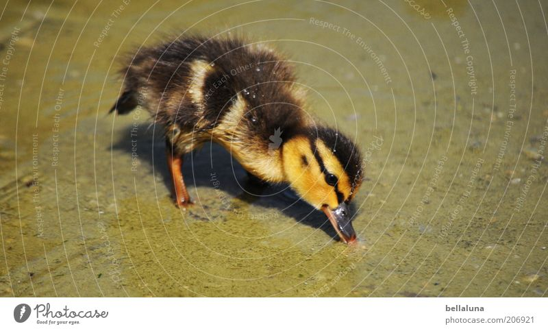 99 chick photos... Environment Nature Summer Beautiful weather Warmth Pond Animal Wild animal Bird Animal face 1 Baby animal Duck Chick Duckling Water Fuzz