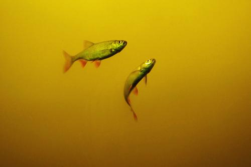 two Environment Nature Animal Elements Water Pond Lake Fish 2 Free Near Maritime Wet Natural Yellow Red Float in the water Fin Colour photo Multicoloured