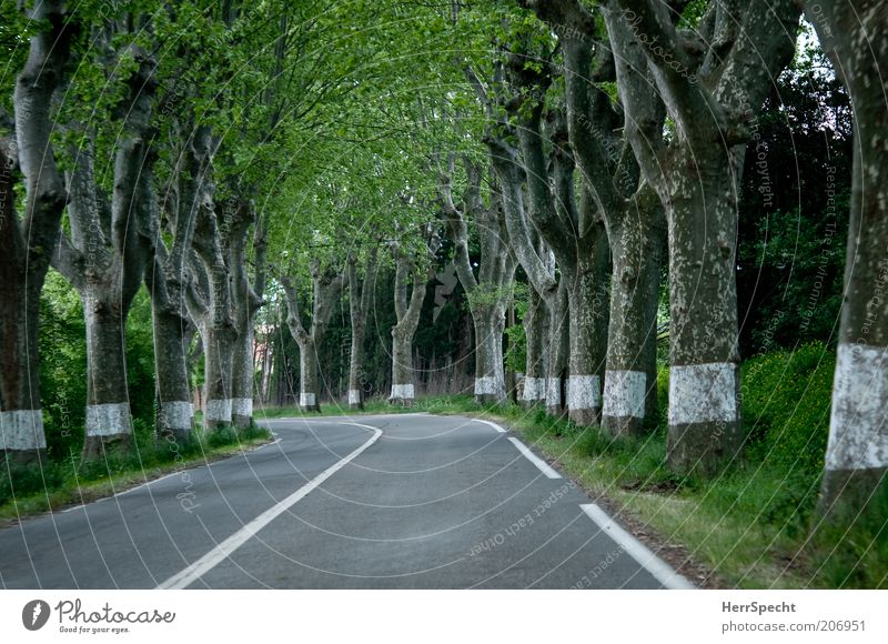 Just follow the white lines Tree avenue trees Street Avenue Country road Gray Green White American Sycamore Tree trunk Signs and labeling Curve Empty Line