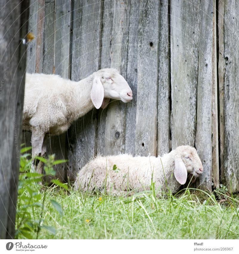 Sheep in profile Grass Meadow Wooden wall Animal Farm animal 2 Pair of animals Baby animal Animal family Crouch Stand Together Natural Contentment Trust