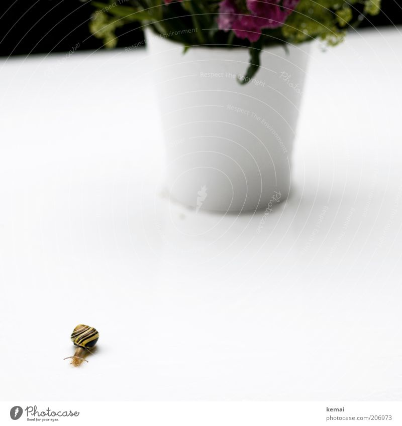 a long way Environment Nature Plant Animal Flower Flowerpot Snail Snail shell Feeler 1 White Colour photo Exterior shot Copy Space right Copy Space bottom
