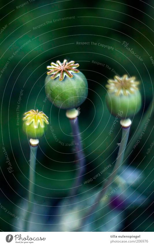Nature Beautiful Flower Green Plant Summer Colour Environment Star (Symbol) Authentic Transience Wild Natural Poppy Poppy capsule