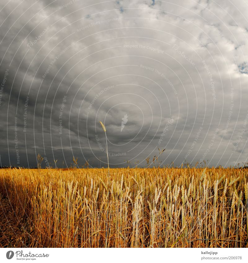 Honour to whom ear is due Environment Nature Landscape Summer Climate Storm Agricultural crop Field Ear of corn Grain field Wheatfield Storm clouds Gold