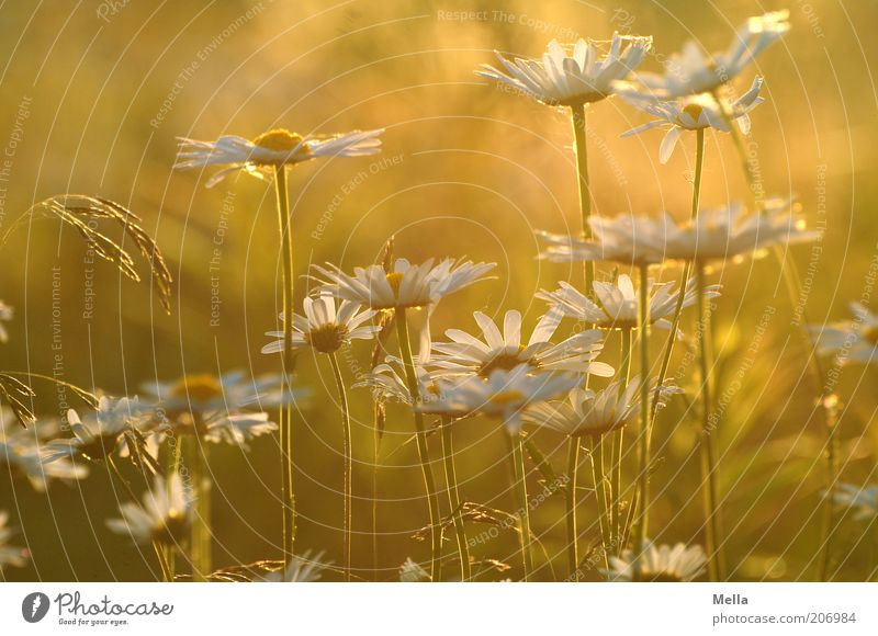 summertime Environment Nature Plant Summer Flower Blossom Marguerite Meadow Blossoming Growth Beautiful Natural Warmth Yellow Gold Joie de vivre (Vitality)