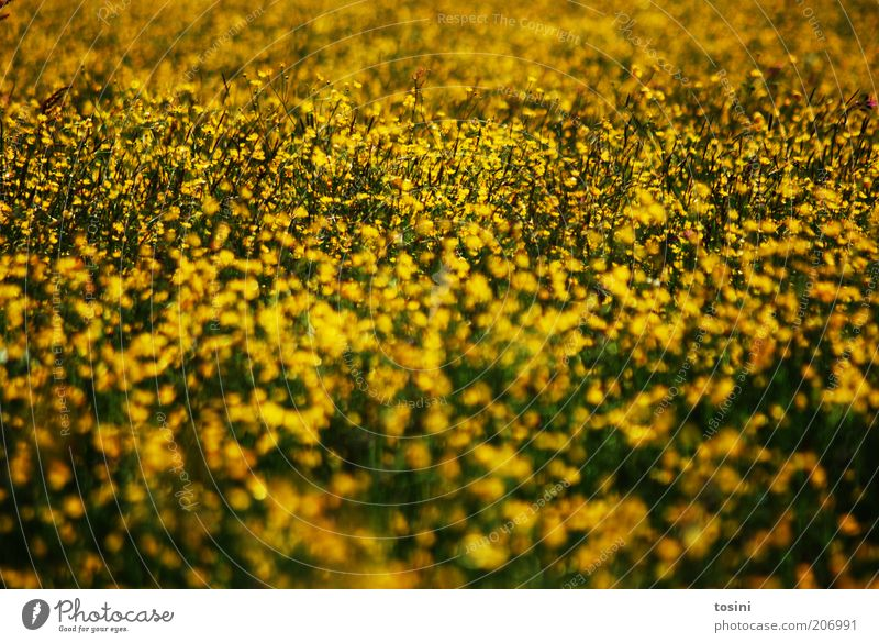 Yellow Sea Environment Nature Landscape Plant Flower Grass Wild plant Meadow Field Green pastures Blossoming Colour photo Exterior shot Deserted