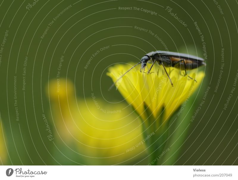 Nature Green Plant Animal Yellow Blossom Natural Blossoming Illuminate Beetle Feeler Blossom leave Flower Wild plant Leg of a beetle Woolly hawkweed