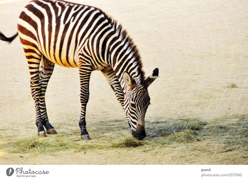 Nature White Black Animal Grass Sand Elegant Stripe Natural Zoo Wild animal To feed Safari Zebra Feed