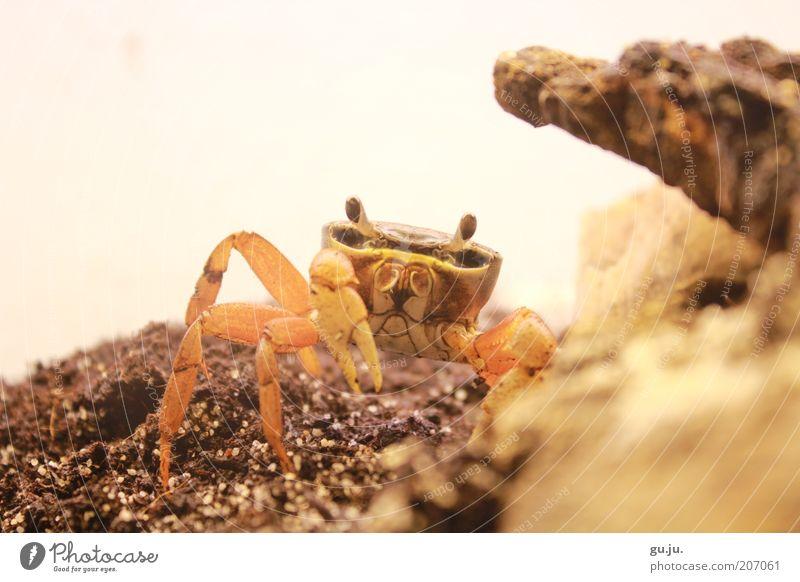Harlequin crab (Cardisoma armatum) or also Rocky Animal Pet Wild animal Shrimp Terrarium Claw Crustacean Shellfish 1 Baby animal Looking Brown Yellow Orange