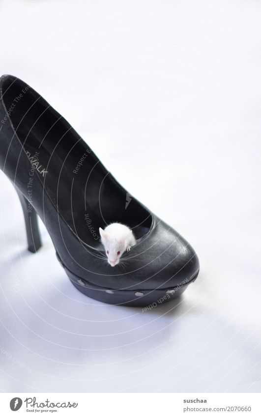 Mouse in shoe color mouse white mouse Pet Rodent Cute Small at home Domicile Living or residing squat Protection Fear Disgust Footwear High heels Albino