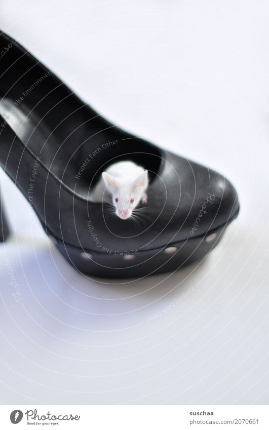 Mouse in shoe color mouse white mouse Pet Rodent Cute Small Living or residing Domicile squat Protection Fear Disgust Footwear High heels Albino Red Eyes