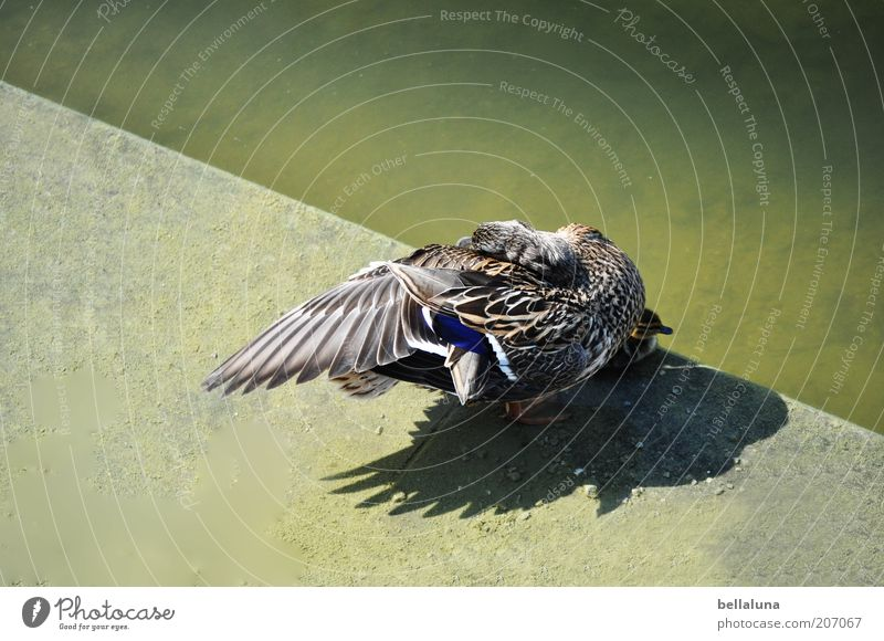 Nature Water Animal Environment Gray Brown Bird Concrete Wild animal Wing Feather Beautiful weather Lakeside Duck Pond Surface of water