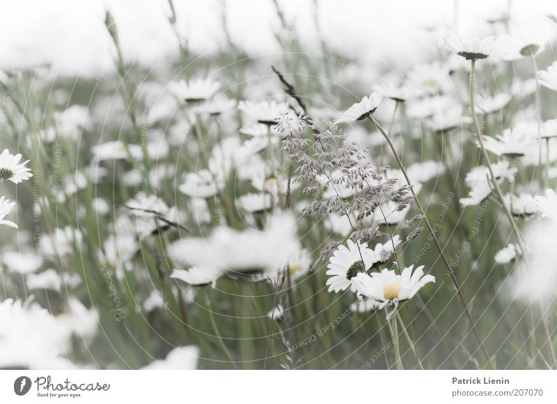 daydream Environment Nature Landscape Plant Summer Climate Beautiful weather Wind Flower Leaf Blossom Foliage plant Wild plant Meadow To enjoy Marguerite Bright