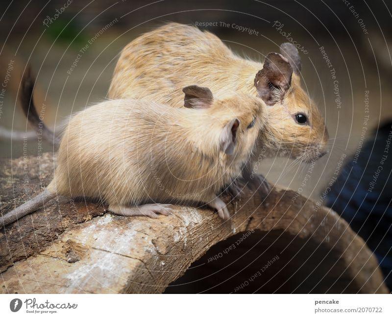 Shh! Wild animal 2 Animal Wood Crouch Listening Communicate Rodent Whisper Ear degu wear rats Colour photo Exterior shot Animal portrait