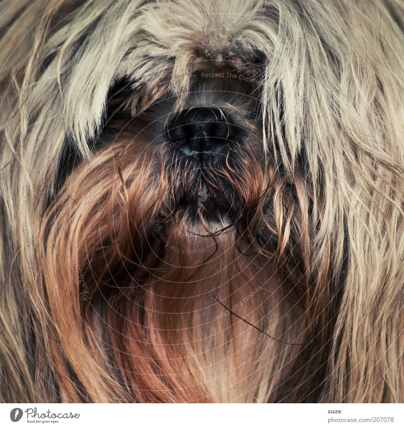 I have the hair beautiful ... Pelt Animal Pet Dog Animal face 1 Funny Cute Brown Terrier Snout Mammal Purebred dog Watchdog Crossbreed Puppydog eyes Dog's head
