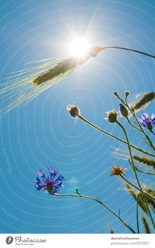 Hot Plant Cloudless sky Climate Climate change Weather Beautiful weather Warmth Flower Grass Agricultural crop Blue Wheat Cornflower Light Sunlight Sunbeam