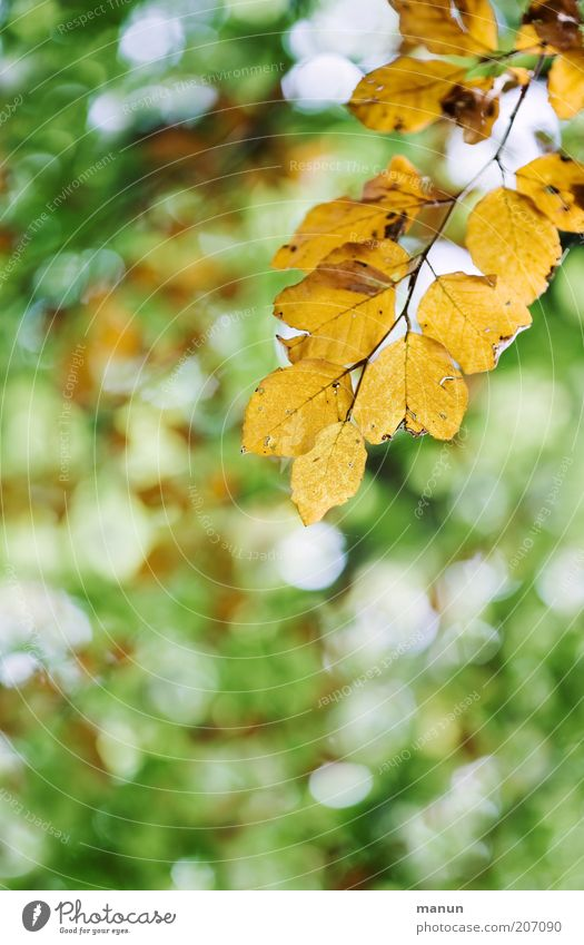 yellowed Nature Autumn Tree Leaf Twig Twigs and branches Autumnal Autumnal colours Early fall Transience Change Colour photo Exterior shot