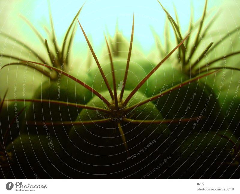 Plant Cactus Thorn