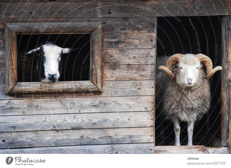 Animal Window Wood Wait Door Vantage point Observe Zoo Curiosity Hut Wooden board Sheep Antlers Barn Goats