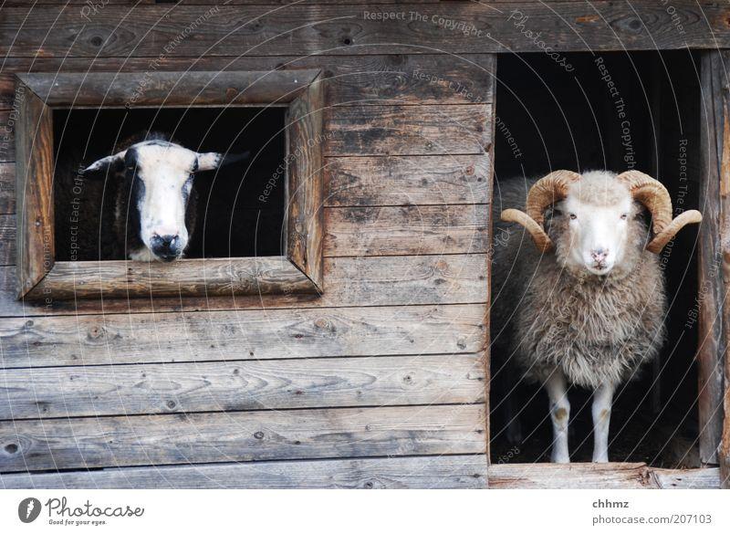 Animal Window Wood Wait Door Vantage point Observe Zoo Curiosity Hut Wooden board Sheep Antlers Barn Barn Goats