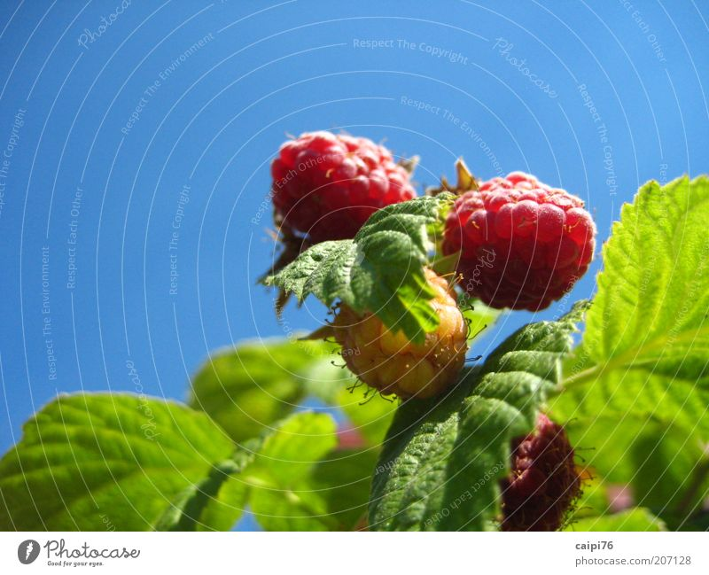 raspberry sky Nature Plant Sky Cloudless sky Summer Bushes Leaf Agricultural crop Raspberry bush Fragrance Natural Sweet Warmth Blue Green Red Colour photo