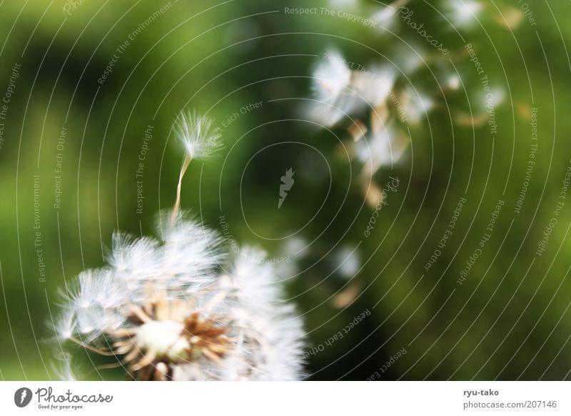 Ephemeral. Nature Plant Spring Summer Flower Dandelion Meadow Movement Flying Faded Green White Spring fever Serene Calm Hope Dream Transience Timeless